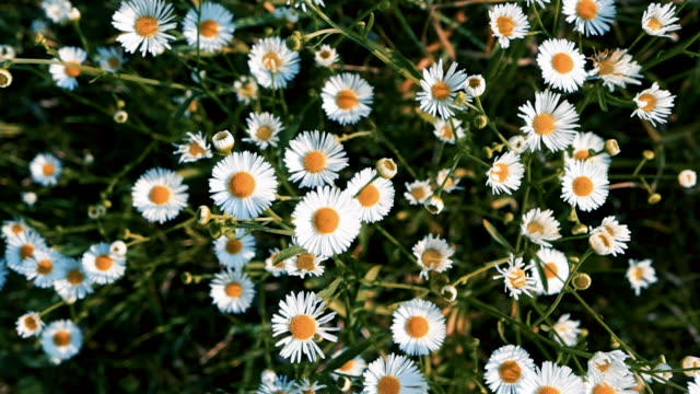 chamomile field and wind. top view flowerbed of tiny daisy flower - нивяник стоковые видео и кадры b-roll
