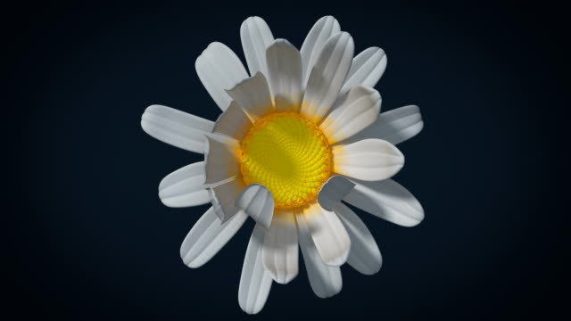 chamomile flower opens in closeup with alpha channel, 3d animation - нивяник стоковые видео и кадры b-roll