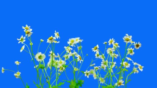 chamomile flowers blooming - нивяник стоковые видео и кадры b-roll