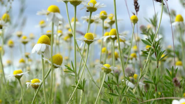 Chamomile flowers field close up with sun flares on the blue sky background video