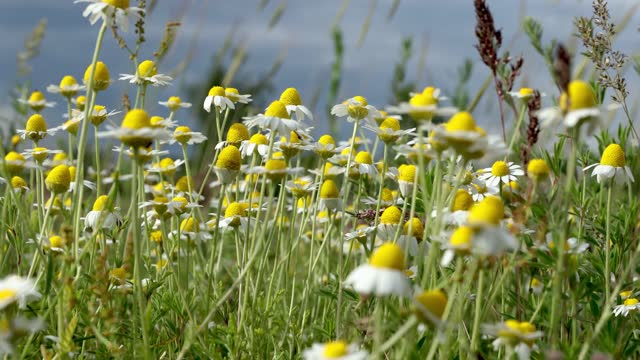 Chamomile flowers field close up with sun flares on the dramatic sky background. video