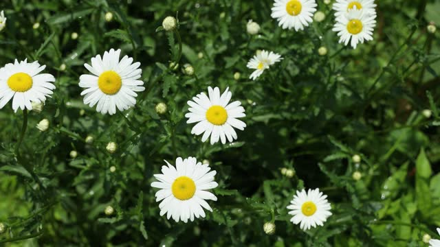 Chamomile flowers field close up with water. Daisy flowers video