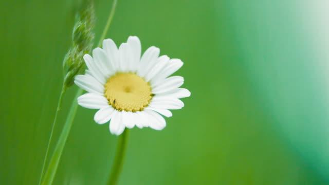 vídeos y material grabado en eventos de stock de flores de manzanilla se mecen en el viento. flores blancas en un prado verde - manzanilla