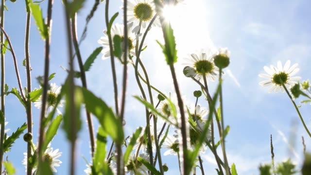 chamomile flowers swaying in the sun - summer background filmów i materiałów b-roll
