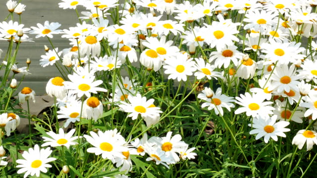 Chamomile flowers video