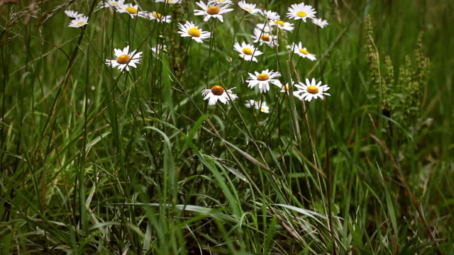 chamomile patch in tall weeds on cloudy day - joseph kelly stock videos and b-roll footage