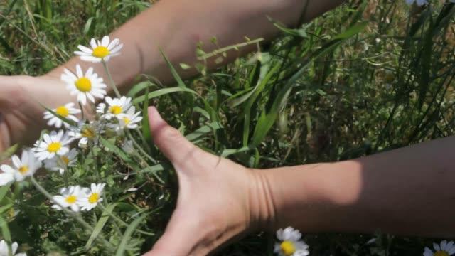 vídeos y material grabado en eventos de stock de chamomiles y las manos - manzanilla