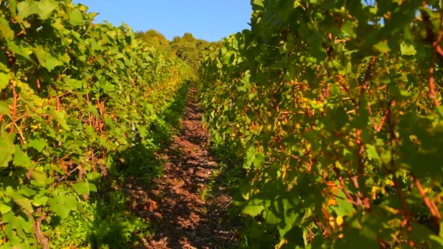 Champagne vineyards in the Montagne de Reims area of the Marne department, Champagne-Ardennes, France, Europe video