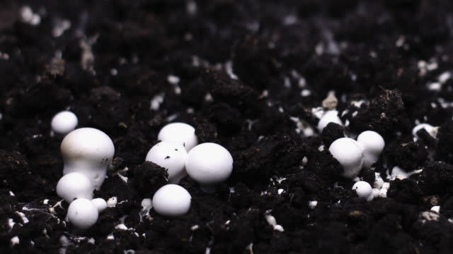 Champignon Mushrooms Growing Timelapse, Fresh New Mushroom Sprout from the ground.