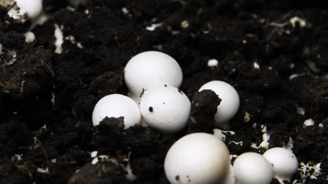 Champignon Mushrooms Growing Timelapse, Fresh New Mushroom Sprout in the Greenhouse