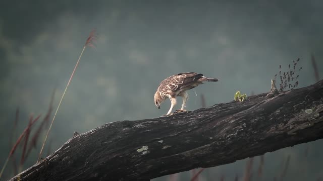 changeable hawk eagle in bardia national park, nepal - park narodowy kanha filmów i materiałów b-roll