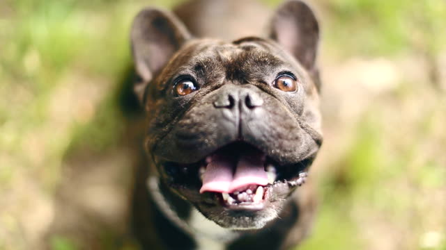 affascinante bulldog francese - cagnolino video stock e b–roll