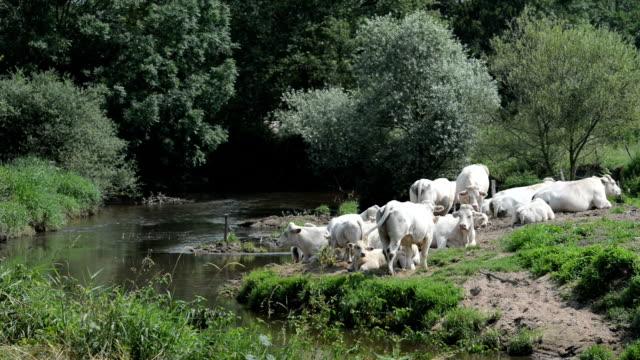 Charolais Cattle Burgundy France video