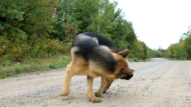 Chasing tail Video of a dog running around in circles chasing her tail tail stock videos & royalty-free footage