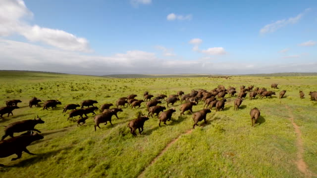 Chasing the herd across the plain video