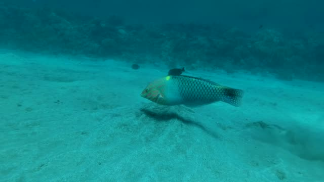 Checkerboard Wrasse (Halichoeres hortulanus) swims over sandy bottom in sun light. Red sea, Egypt Checkerboard Wrasse (Halichoeres hortulanus) swims over sandy bottom in sun light. Red sea, Egypt aquatic organism stock videos & royalty-free footage