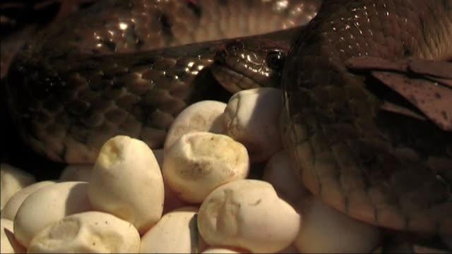 checkered keel back snake Incubation of Eggs video