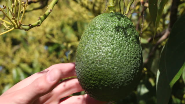 Checking an Avacado Checking an Avacado avocado stock videos & royalty-free footage