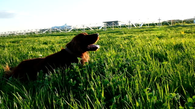Cheerful active dog lying in the grass at sunset in the summer. Irish setter tumbling on nature, slow motion Cheerful active dog lying in the grass at sunset in the summer. Irish setter tumbling on nature, slow motion. irish setter stock videos & royalty-free footage