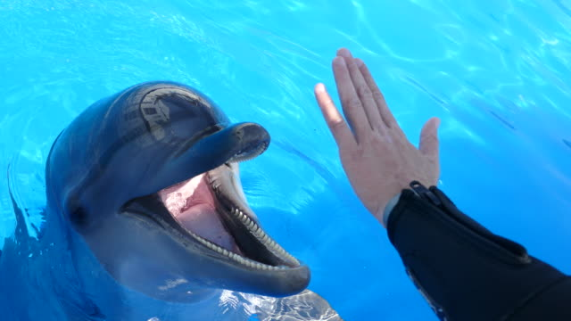 cheerful dolphin plays with a human hand cheerful dolphin plays with a human hand dolphin stock videos & royalty-free footage