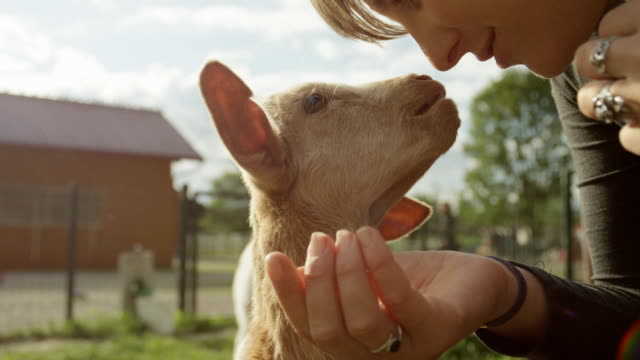 CLOSE UP: Cheerful girl petting adorable little kid goat looking for attention video