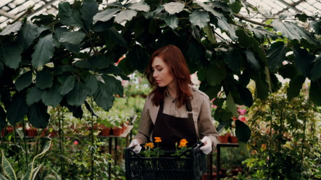 cheerful greenhouse owner is walking in greenhouse, carrying box of pot flowers, looking around and smiling. small business, successful people and nature concept. - entrepreneur stock videos and b-roll footage