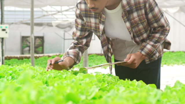 Cheerful young attractive Asia guy farmer checking research quality of green oak from hydroponics vegetable farm in greenhouse garden in morning. Cheerful young attractive Asia guy farmer checking research quality of green oak from hydroponics vegetable farm in greenhouse garden in morning. Agriculture organic for health, Vegan food concept. lettuce stock videos & royalty-free footage