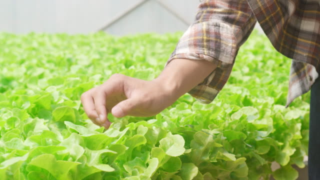 neşeli genç çekici asya adam çiftçi sabah sera bahçesinde hydroponics sebze çiftliğinden yeşil meşe hasat. - organik çiftlik stok videoları ve detay görüntü çekimi