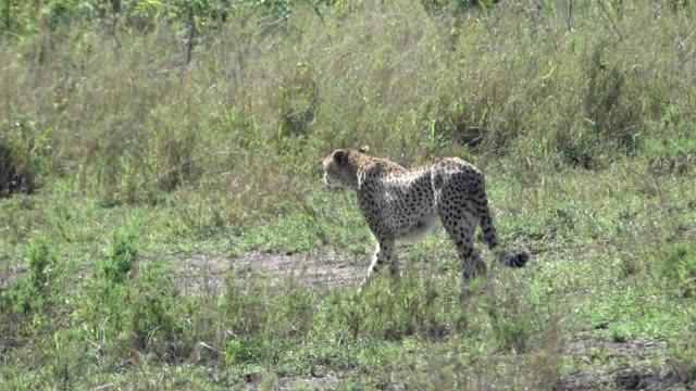 Cheeta Hunting Serengeti, Tanzania, Africa video