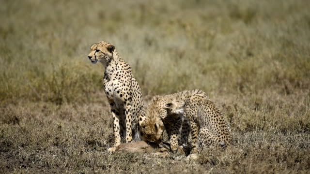 Cheetah and cubs video