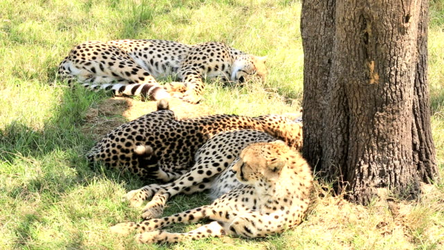 Cheetah Brothers video
