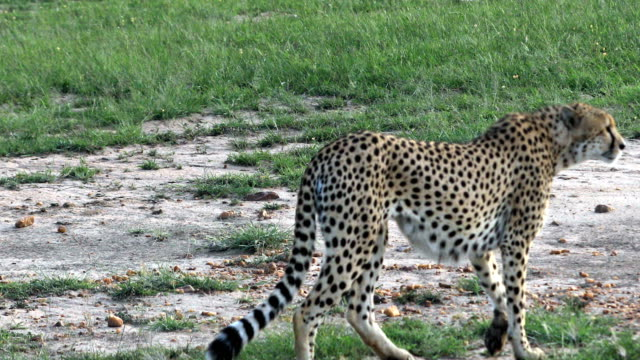 Cheetah Hunting / preying video