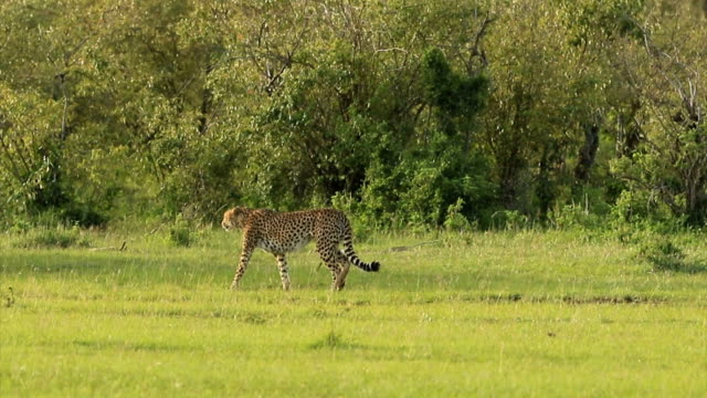 Cheetah Hunting / preying with Topi Antelope video