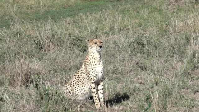 Cheetah Hunting video