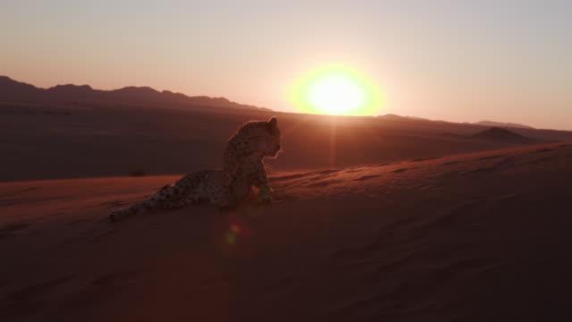 4K Cheetah in silhouette against setting sun of the Namib desert video