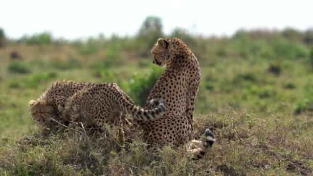 A cheetah in the Kenyan savannah