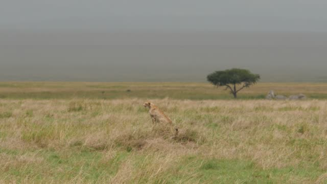 Cheetah is looking for a prey