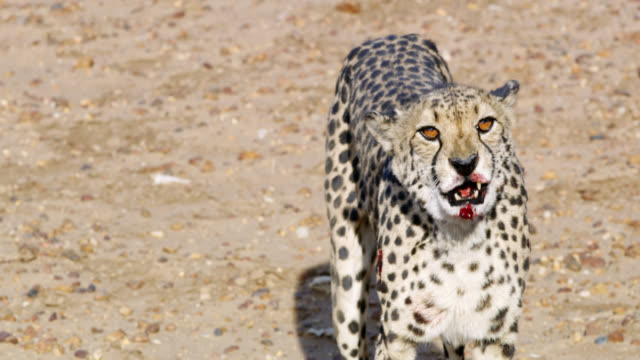 MS Cheetah licking blood off chin in sunny desert,Namibia,Africa