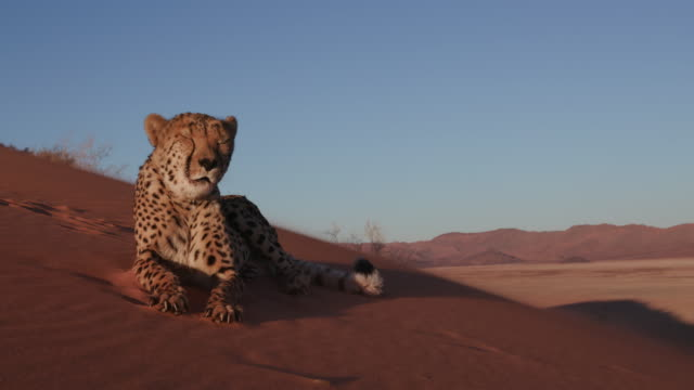 4K Cheetah looking at camera and lying on the red sand dunes of the Namib desert video