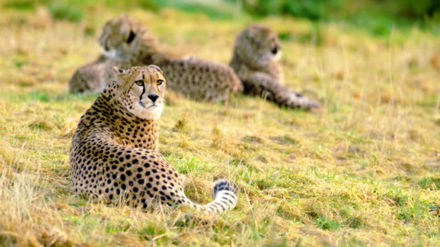 Cheetah mother with cubs looks after enemies video