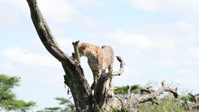 Cheetah on a tree in Tanzania