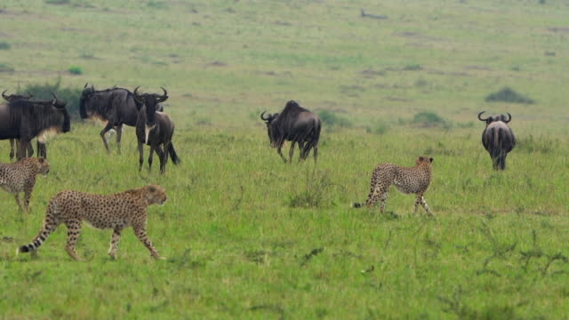 Cheetah on savannah in Africa
