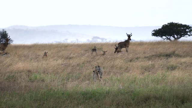 cheetah pair slowly approach hartebeest antelope at the serengeti national