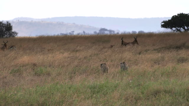 cheetah pair slowly approaching hartebeest at serengeti
