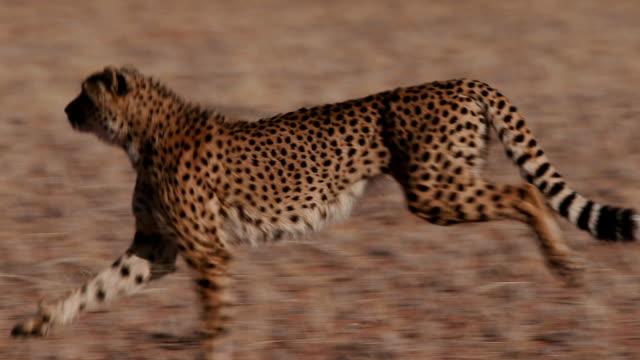 gepard läuft seite auf kamera in zeitlupe - großwild stock-videos und b-roll-filmmaterial
