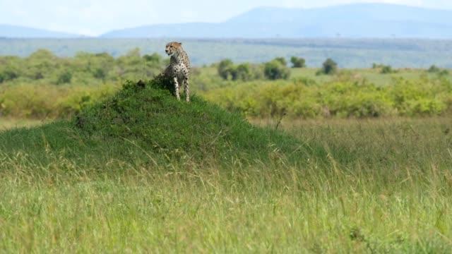 vídeos de stock e filmes b-roll de cheetah searching for prey - felino