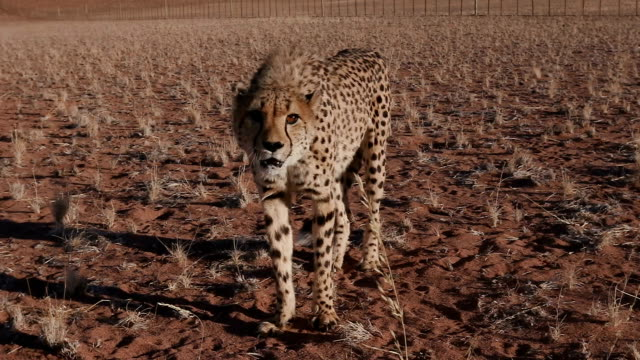 Cheetah snarling and looking towards camera in slow motion video
