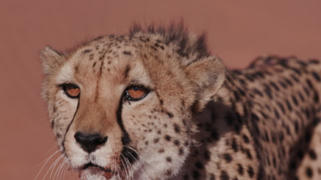 4K Cheetah snarling and looking towards camera video