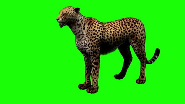 cheetah börja köra på grön skärm - tiger bildbanksvideor och videomaterial från bakom kulisserna