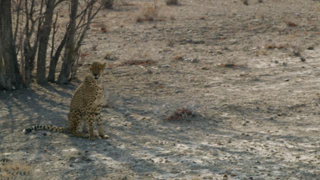 vídeos de stock, filmes e b-roll de ms cheetah caminhando no deserto ensolarado, namíbia, áfrica - felino